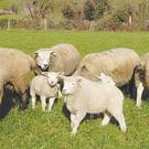Tom Staunton plans to use a Levamisole wormer on his flock. Stock Photo.