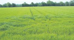Sources say spring barley planting will be back.
