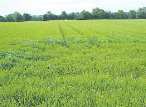 Crops, such as spring barley, have benefitted from the heavy rain.
