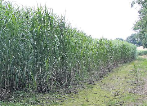 Energy crops, such as miscanthus (pictured) and willow are attacting renewed interest