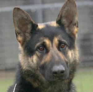 A judge's pet German shepherd which has been seized by police after three alleged attacks has its own Facebook page