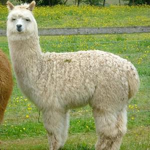 Britney, a one-year-old alpaca, has been stolen from a farm in Worcestershire