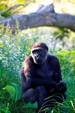 The newly opened  Gorilla Rainforest in Dublin Zoo totals 12,000 square metres of undulating topography, rolling hills, streams and dense vegetation.  Inspired by the gorillas' natural habitat, the lowland rainforest of western Africa.