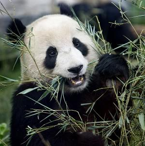 A panda that was thought to be female has been identified as male
