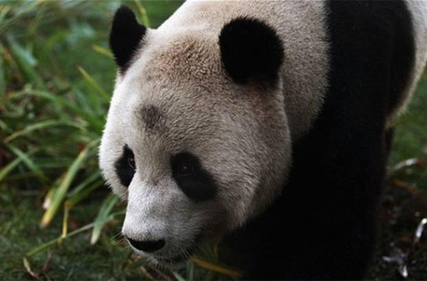 Sweetie the panda arrived along with Sunshine in Edinburgh from China. Photo: Getty Images