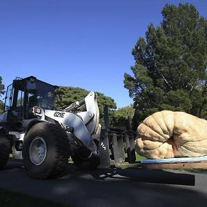 A forklift moves the largest pumpkin in the world into place for display at the New York Botanical Garden