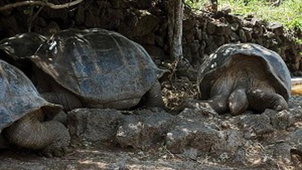 Lonesome George, the giant tortoise, is looking for love again... at 100