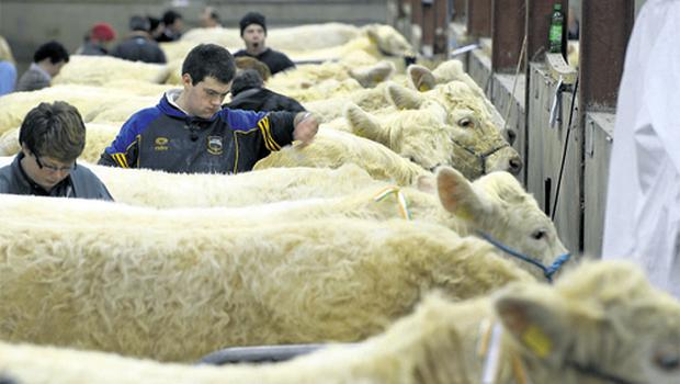 Buoyant beef prices helps focus minds as competitors prepare stock for the Charollais show and sale which took place in Carrick-on-Shannon on Saturday