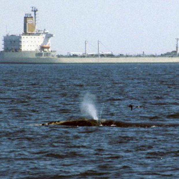 The Whale Alert app helps mariners avoid the animals (AP/International Fund for Animal Welfare)