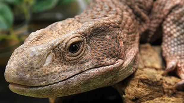 The owner of a Monitor lizard is neing sought in California