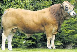 Limousin: Milbrook Filio Et, sired by Sauvignon and owned by William Smith, Oldcastle, Co Meath