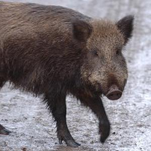 Wild boar have been seen rooting through bins for food
