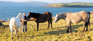 Rare breeds include Kerry, Dexter and Irish Molied cattle, Irish Draft horses, Galway sheep and Kerry Bog and Connemara ponies pictured here
