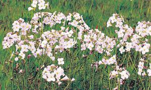 Lady's Smock is another 'positive' indicator species