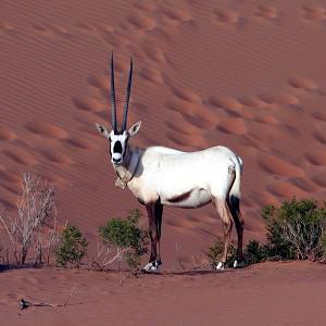 An Arabian Oryx pictured walking in the desert after having been released into the area (AP/Abu Dhabi Environment Agency)