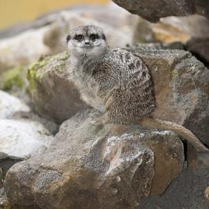 Two people have been arrested over the theft of a meerkat