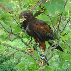 A Harris Hawk got stuck in a tree but was spotted by its owner who launched a rescue to get it back