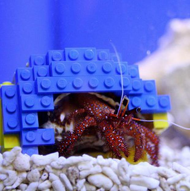 A hermit crab named Harry uses a shell made of Lego bricks at Legoland Windsor