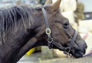 Strangles causes swelling of the throat region and the first sign is often a spike in the horse's temperature