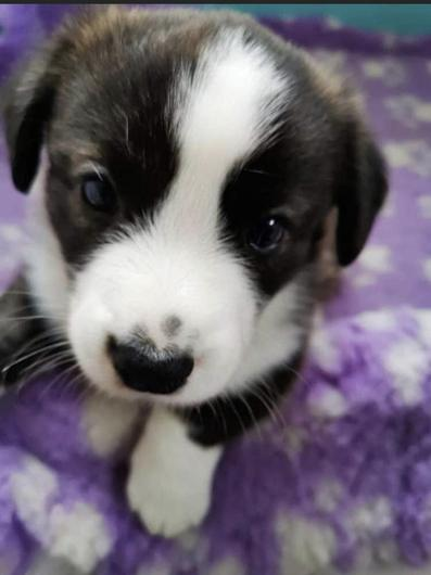One of the Cardigan Corgi pups that was stolen in Kilkenny last night. Photo: Liveline.
