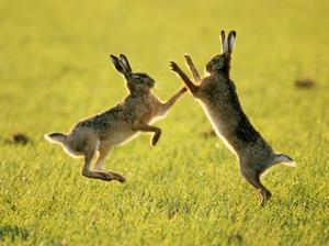 'Ostara's favoured animal was the hare, Lepus timidus, which carried her lights as Goddess of Dawn.'