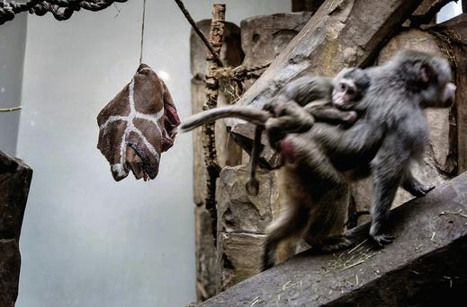 A piece of the giraffe Marius is seen hung up in a cage occupied by primates at Copenhagen Zoo. Thomas ekfeldt