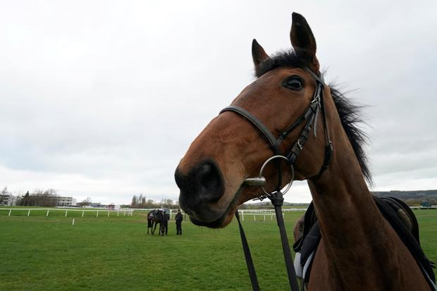 The Willie Mullins trained Laurina on the gallops at Cheltenham Racecourse on March 10, 2019 in Cheltenham, England. (Photo by Alan Crowhurst/Getty Images)