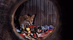 EASY PICKINGS: Urban foxes are flourishing on the plentiful food waste in towns and cities