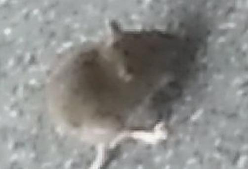'The rat was captured, photographed for posterity and transferred humanely out of the building' Lise Hand writes
