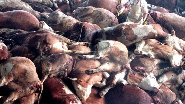 MASSIVE CULL: Back in the 90s, 180,000 cows were infected by mad cow disease in the UK