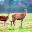 Deer are beneficial for the environment.