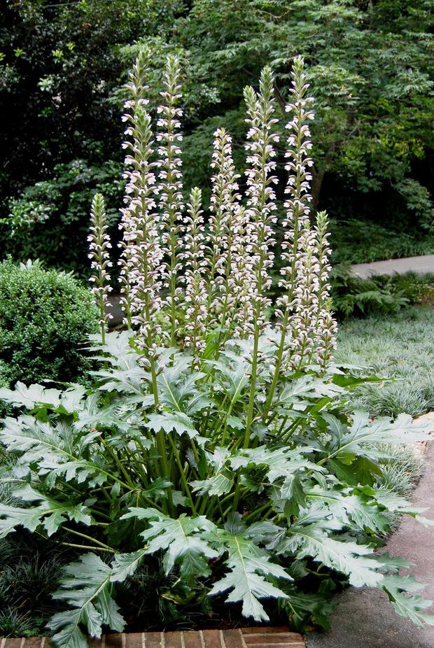 The Immortal Acanthus Will Make A Majestic Statement In Your Border