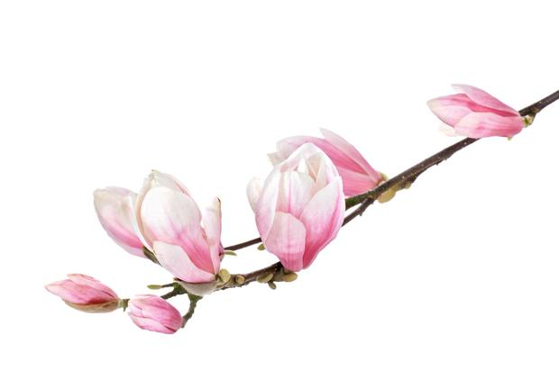 I have always thought the colour of a magnolia flower is beautiful, that delicate pink shading to a deep fuchsia colour.