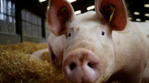 In recent weeks 6,000 pigs were culled on UK farms due to a shortage of butchers. Photo: Phil Noble