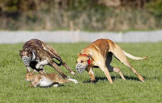 'The hare in coursing is the equivalent of the sliotar in hurling... the essential difference being that it is a sentient creature, susceptible to pain.'