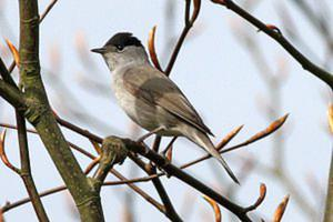 A cold spell is often accompanied by an influx of hungry Blackcaps