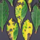 Escallonia leaves showing signs of leaf spot disease