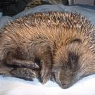 Hedgehogs need help when they are sick on injured