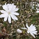 Magnolia stellata, sometimes called the star magnolia, is a slow-growing shrub or small tree native to Japan