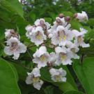 Catalpa bignonioides in flower