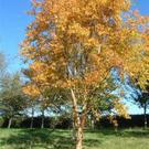 Betula ermanii gives brilliant yellow autumn colour