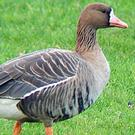 Some 8,500 Greenland White-fronted Geese winter on the Wexford Slobs each year, making the area hugely important for the species