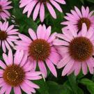 Echinacea can help in the treatment and prevention of cold and flu infections when taken for a period of time