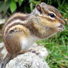 The Siberian Chipmunk has been recorded living wild in Ireland