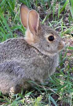 A young Rabbit, an Easter Bunny
