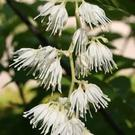 Plant of the week: Pterostyrax hispida - Epaulette tree