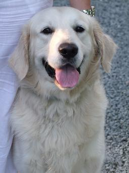 Golden Retrievers are especially prone to developing hot spots.