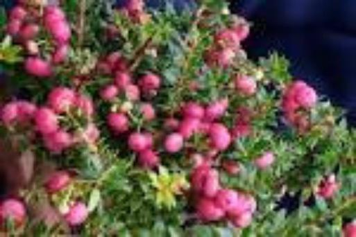 Plant of the week - Gaultheria mucronata