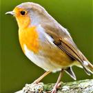 The Robin is the only species of wild bird found in Ireland that continues to sing through out the winter