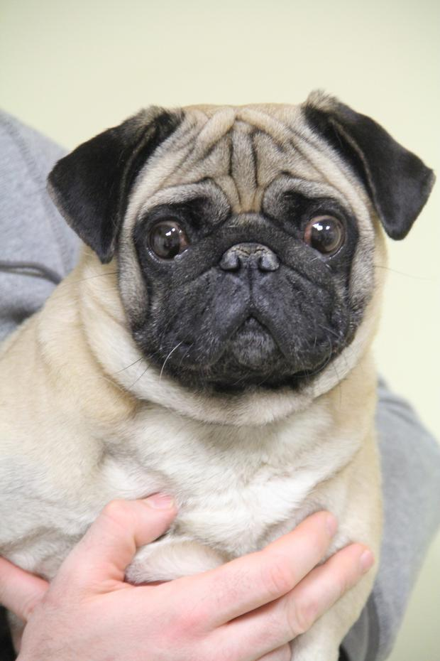Pugs are lovely dogs, but they often have health issues